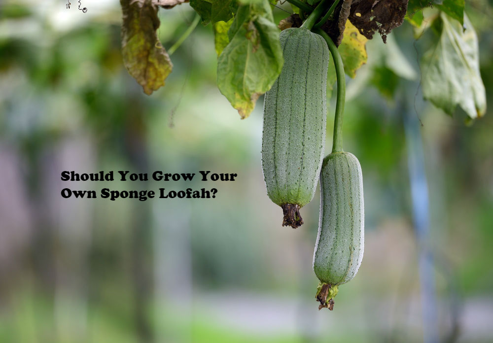 Should You Grow Your Own Sponge Loofah article image by Love Thyself